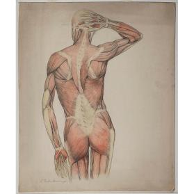 Anatomical Drawing of Male, Back View
