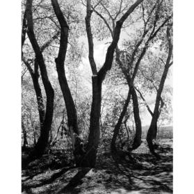 Cottonwood Trees, Tesuque, New Mexico