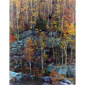 Birch Trees on Cliff, Near Keene Valley, Adirondack Park, New York