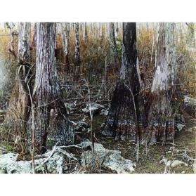 Dry Cypress Swamp, Tamiami Trail, Florida
