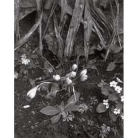 Crocuses and Primroses, Orgeval (from Portfolio Two: The Garden)